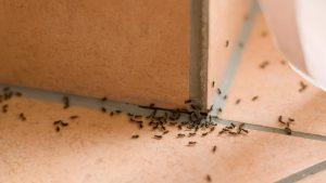 rumah banyak semut